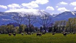 Krowy na łące u podnóża Karkonoszy przy miejscowości Karpacz